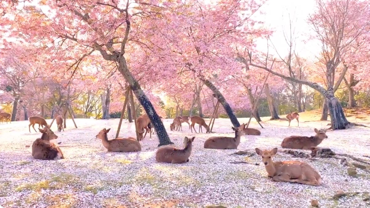 Deers relaxing under cherry blossom trees in empty Nara Park. Japan